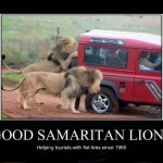 Lions are helping tourists!