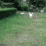 Jumping dog fail