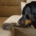 A rat's death-wish